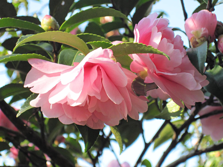 Rosa chinensis en el Palacio Imperial de Tokio