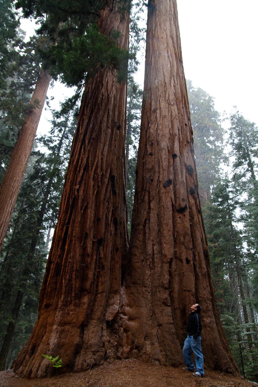 Contemplando una secuoya gigante, Parque Nacional de las Secuoyas, EE.UU.