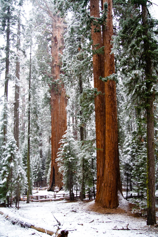 El General Sherman, el árbol más voluminoso del mundo, visto desde el sendero que lleva su nombre, Parque Nacional de las Secuoyas, EE.UU.