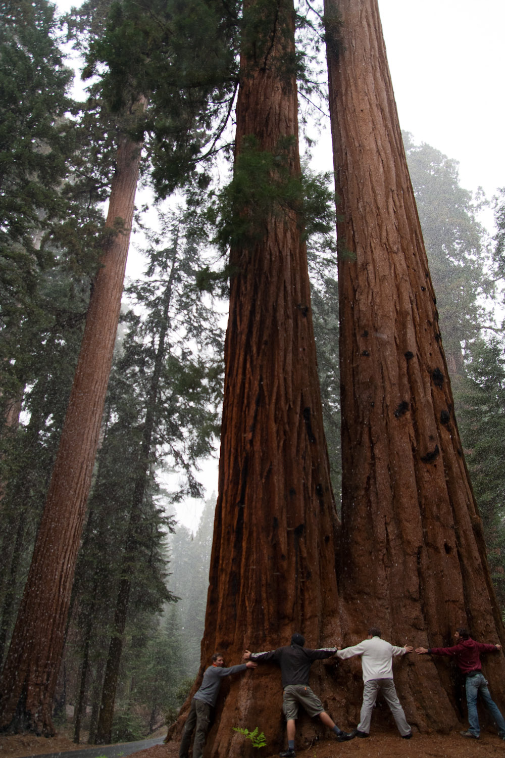 Secuoyas gigantes en el Giant Forest de Sequoia National Park, EE.UU.