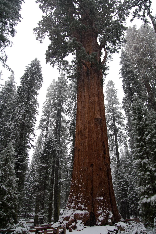 Una secuoya gigante en medio del sendero Sherman Trail, Parque Nacional de las Secuoyas, EE.UU.