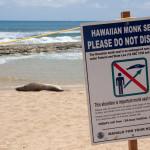 Foca monje hawaiiana en una playa de Kauai, Hawaii, EE.UU.