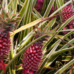 Piñas exóticas en la plantación Dole, Oahu, Hawaii, EE.UU.