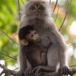 Macaco cangrejero con cría en Penang Hill, isla de Penang, Malasia