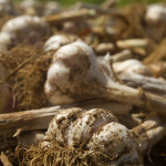 Cosecha de ajos en The Garlic Farm, Newchurch, Isla de Wight, Reino Unido