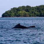 Ballena jorobada con cría en la isla de Coiba, Panamá