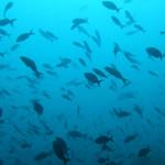 Cardúmenes de peces en las aguas del Parque Nacional Coiba, Panamá