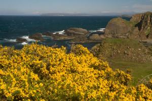 Flores de canola en la Costa de la Calzada, Irlanda del Norte