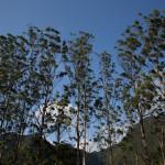 Un grupo de eucaliptos frente al Cerro Gaital, El Valle de Antón, Panamá