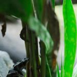 Una rana dorada en el centro de exhibición de anfibios del Níspero, El Valle de Antón, Panamá