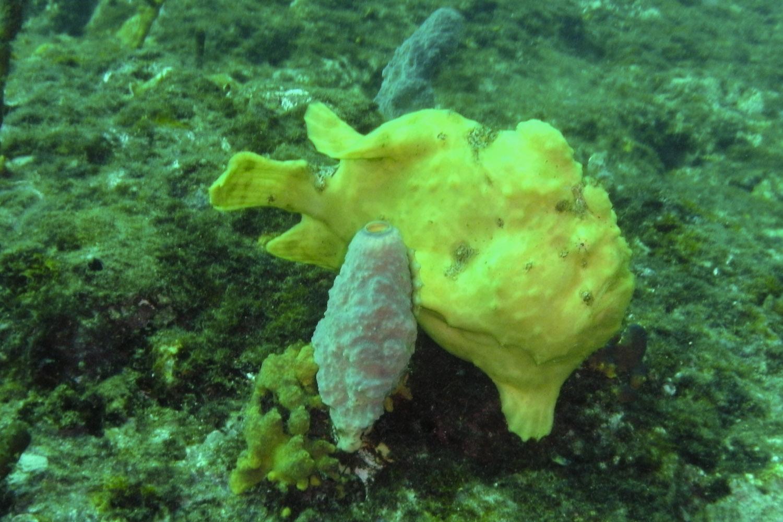 Pez sapo en las aguas de la Isla de Coiba, Panamá