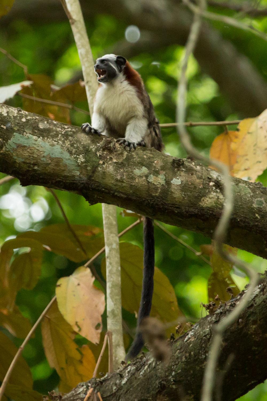 Mono tití panameño en el Parque Metropolitano de Ciudad de Panamá