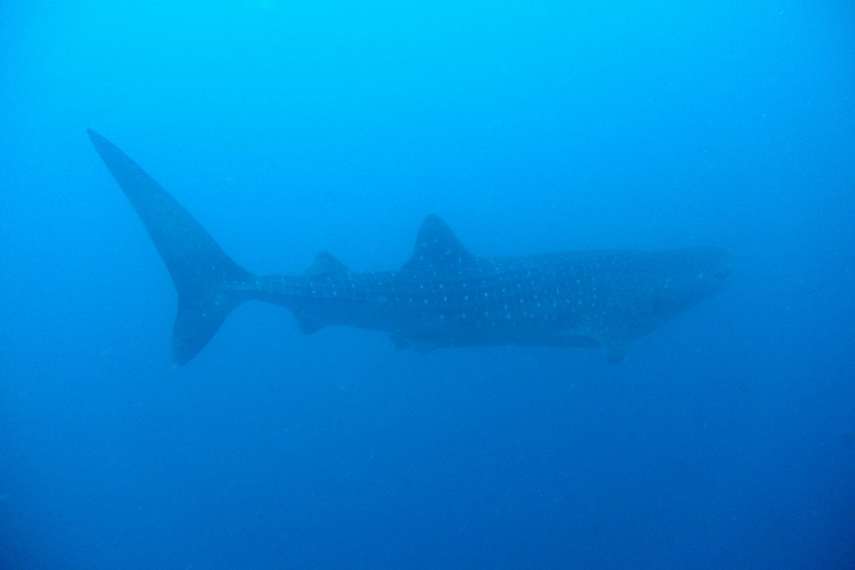 Un tiburón ballena en las aguas cercanas a Wahoo Rock, parque nacional Coiba, Panamá