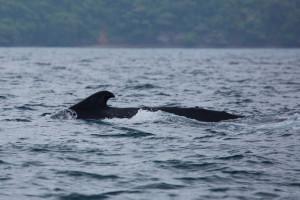 Dorso de una ballena jorobada en el archipiélago de Las Perlas, Panamá