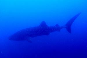 Tiburón ballena en las aguas cercanas a Wahoo Rock, parque nacional Coiba, Panamá