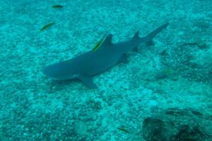 Tiburón de arrecife de punta blanca en las aguas del parque nacional Coiba, Panamá
