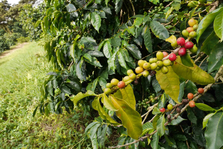 Cerezas de café madurando en Finca Lérida, Boquete, Panamá