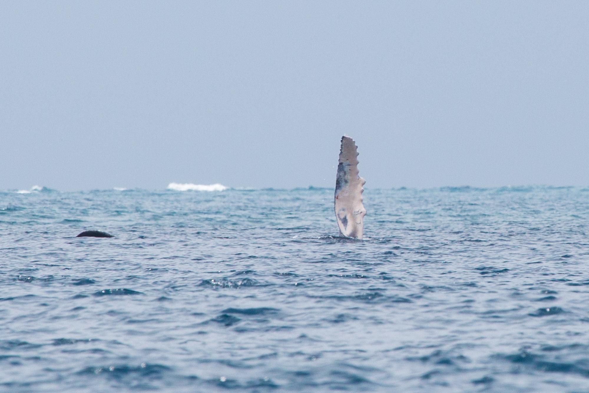 Aleta pectoral de ballena jorobada en el archipiélago de Las Perlas, Panamá